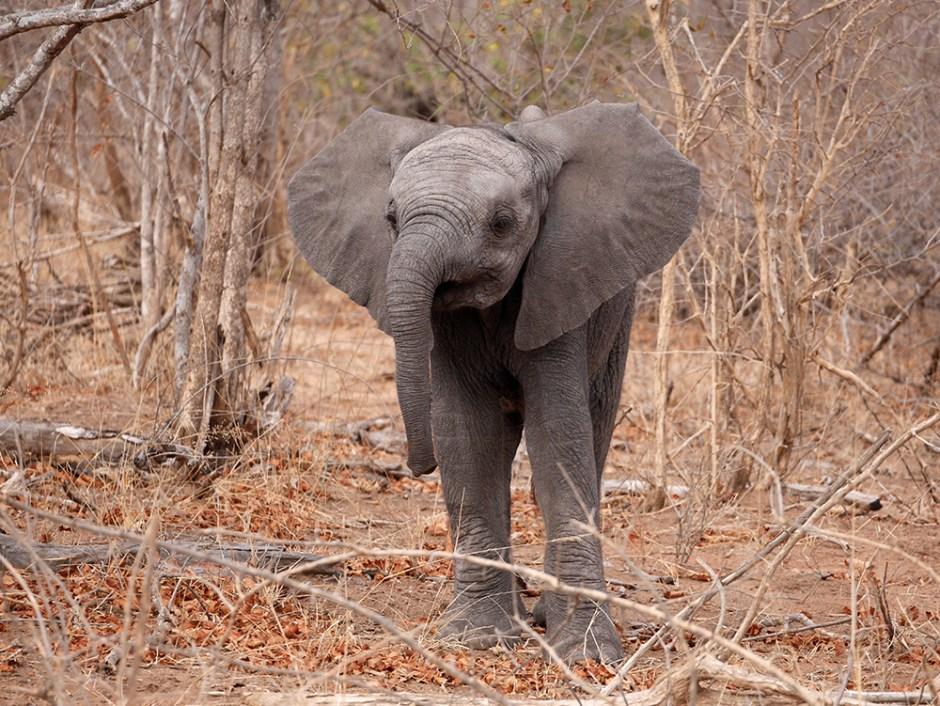 Baby elephant Afrique du Sud Kruger