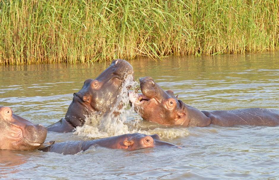 Hippopotame Safari