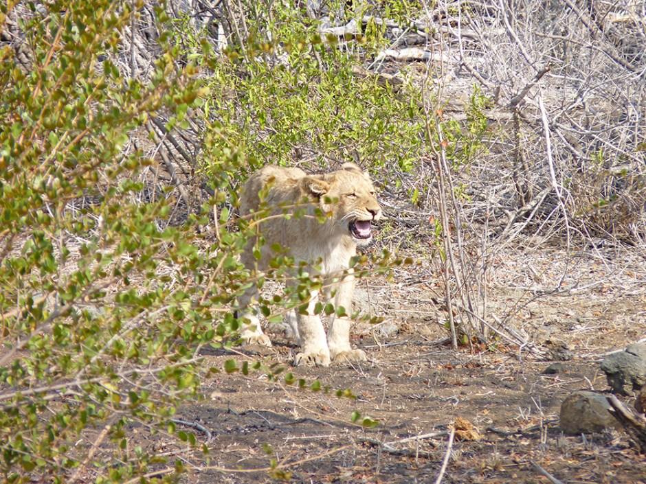 Lionceau Afrique du Sud Safari