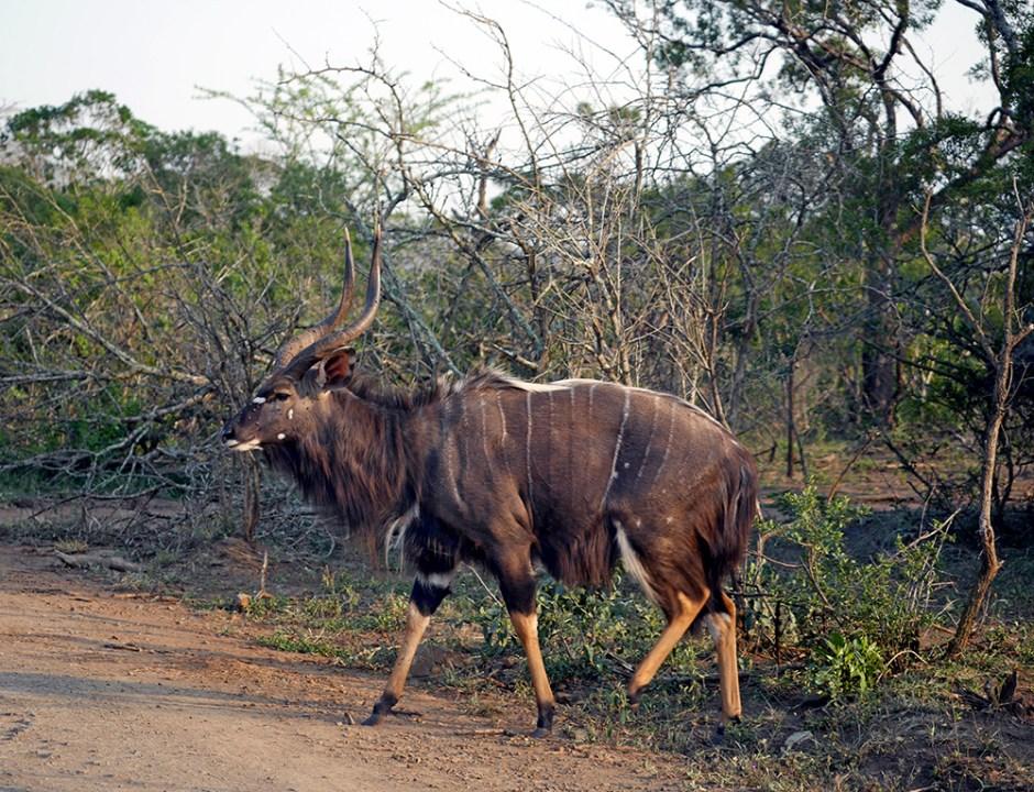 Niala Parc Kruger Safari