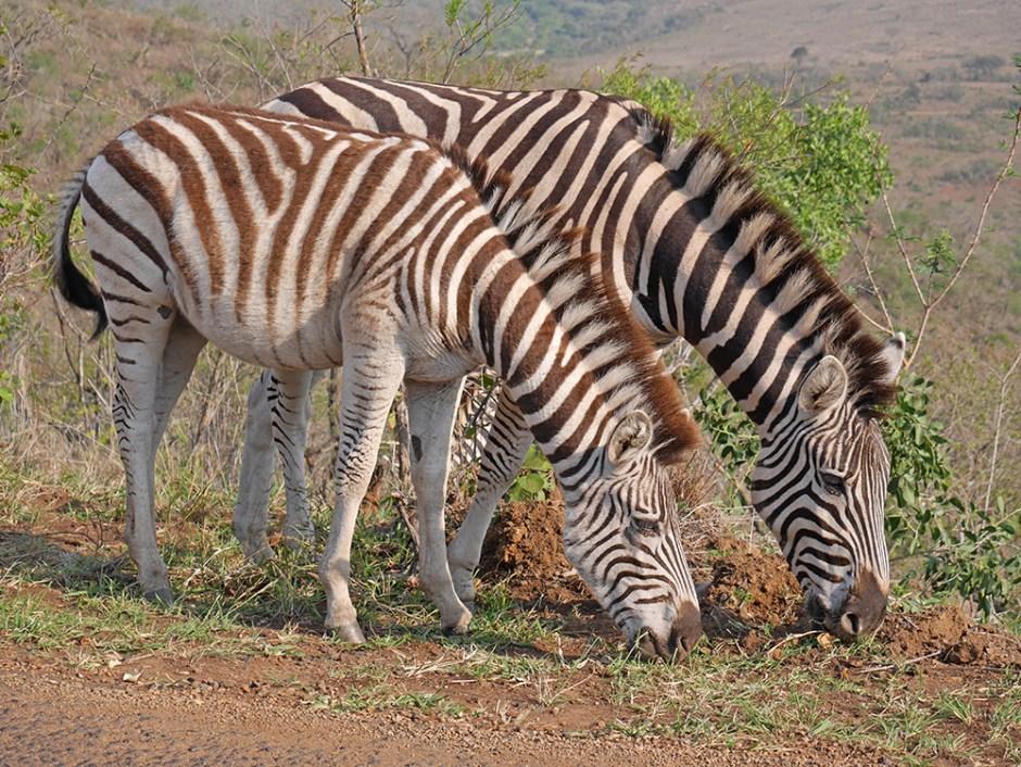 Zebre Safari Afrique du Sud