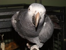 Gabby, the African Grey