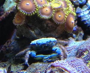 13C Emerald Crab Closeup