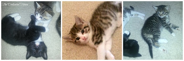 Kittens-5-weeks-Collage.jpg.jpg