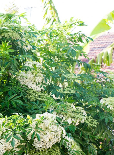 low-tree-layer-temperate-food-food-forest-elderberry