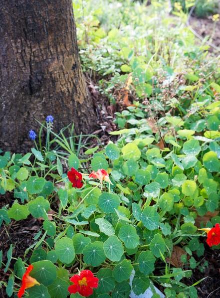 nasturtium-spring-bulb-growing-under-tree