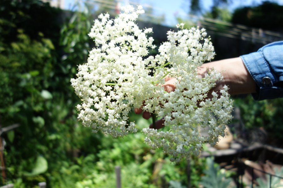 1. Pick elderflowers that have just opened as they will have the most pollen. If there are still a few unopened buds you will know they are fresh.