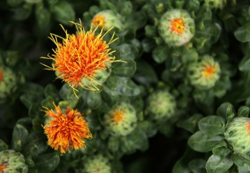 a close up shot of a field of safflowers