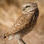 burrowingOwls-10
