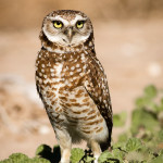 burrowingOwls-3