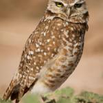 burrowingOwls-7