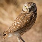burrowingOwls-9
