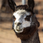 alpacas-103-2
