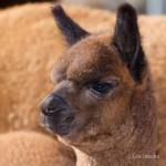 alpacas-104-2