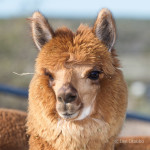 alpacas-106-2