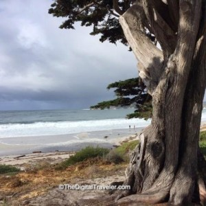 Carmel Beach Tree