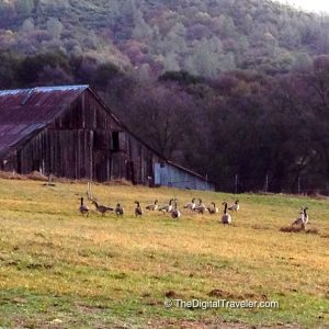 Grass Valley Barn & Geese