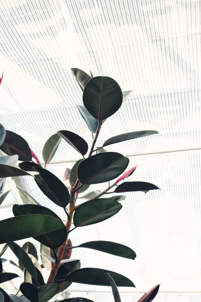 House plants that will grow well in the fall. #HousePlants #RubberTree #SnakePlant #IndoorPlant #TheDimpleLife