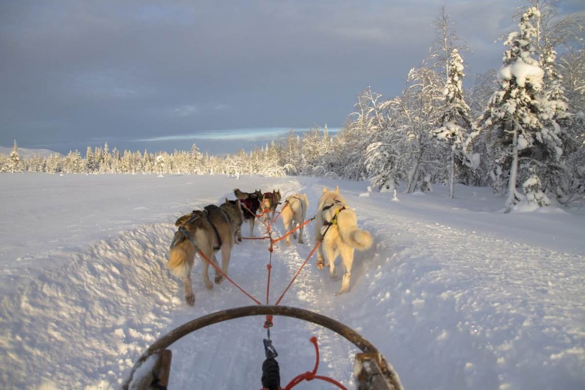 Dogsledding in Finnish Lapland