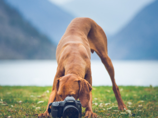 vizsla dog taking a photograph