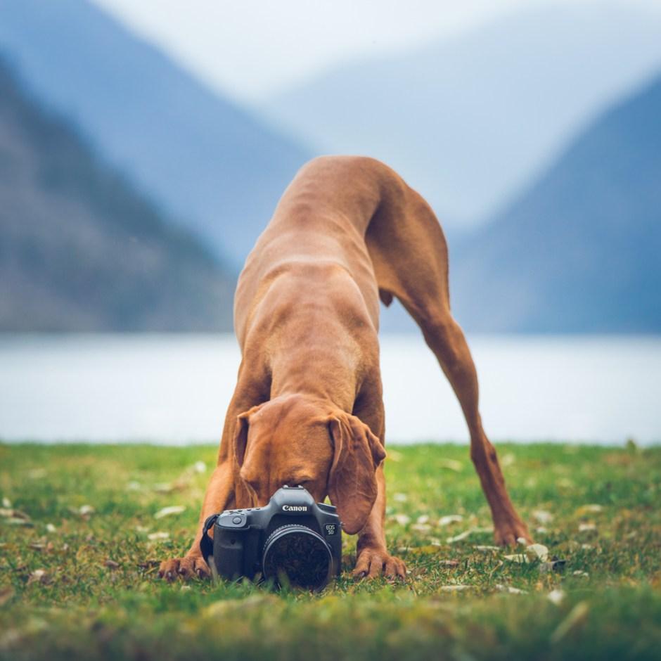 vizsla dog taking a photograph