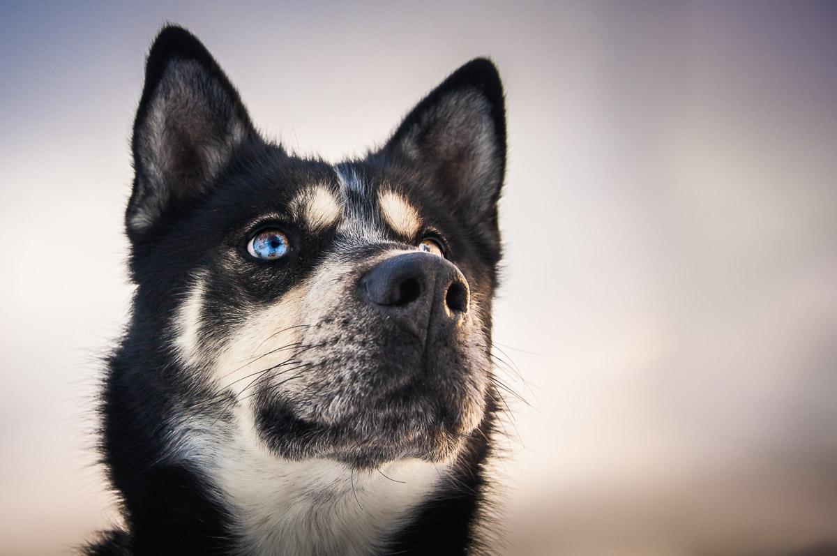 Husky sled dog's multi colored eyes, striking