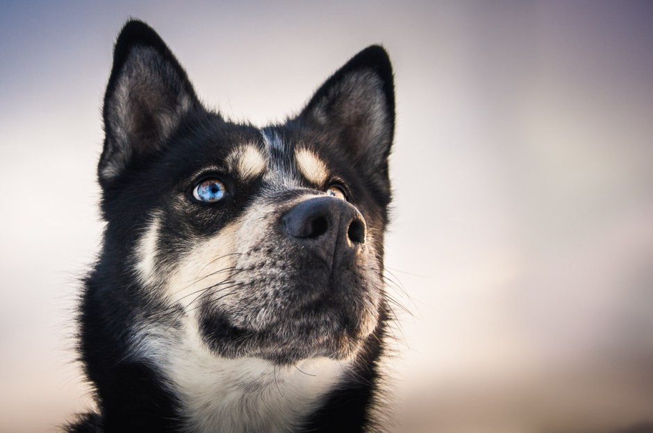 Husky sled dog's multi colored eyes, striking