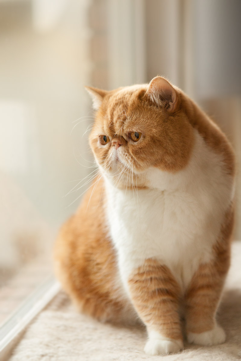 exotic short hair cat, orange, ginger and thinking about life