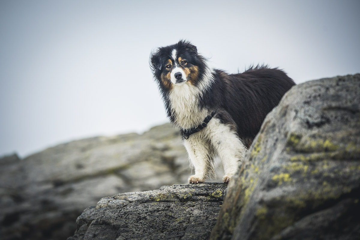 Australian Shepherd striking a pose and saying hello