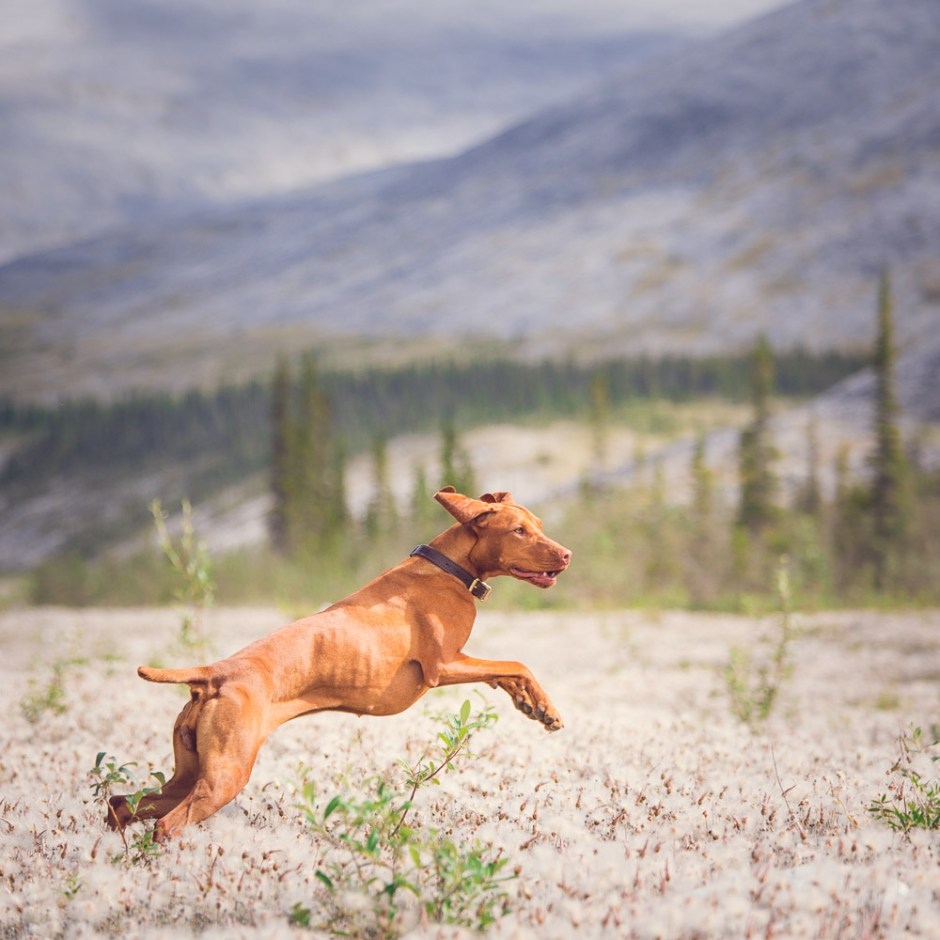 Dempster highway playing with dog break