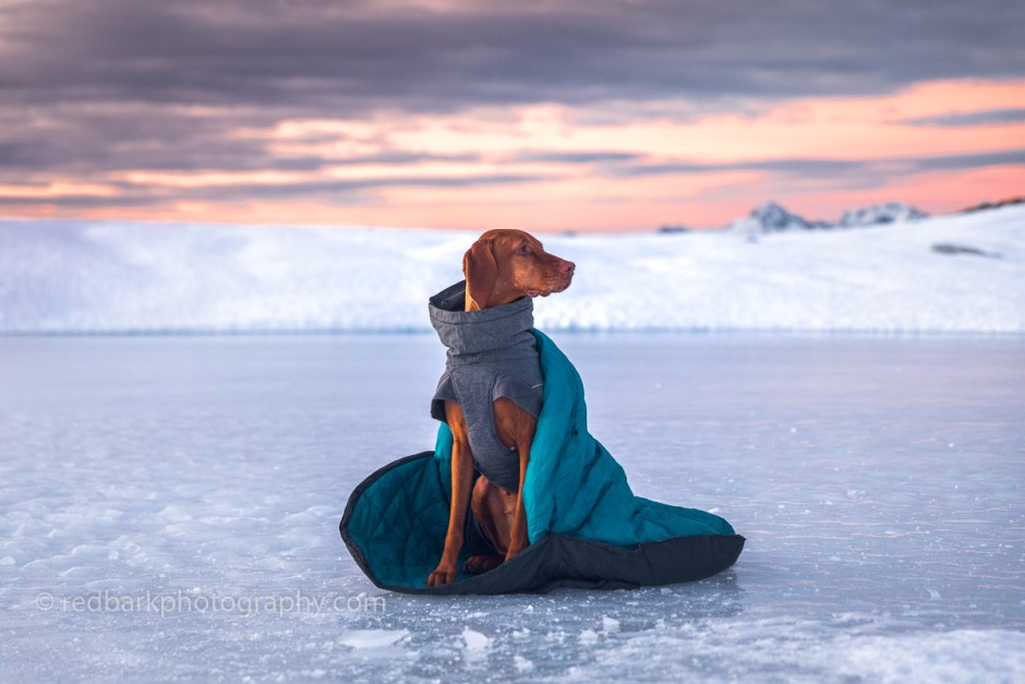 A Vizsla dog in a dog sleeping bag on ice