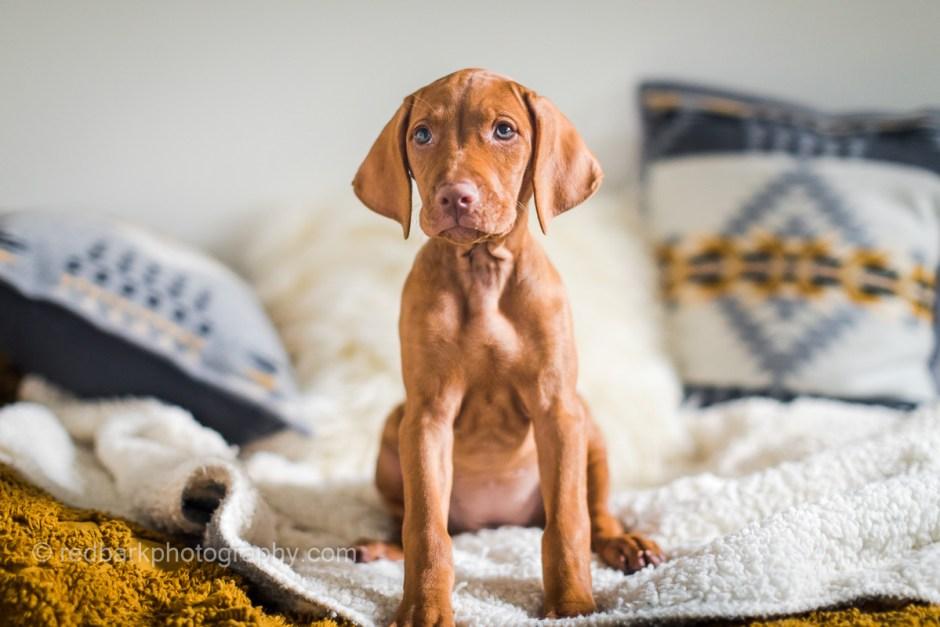 Female vizsla puppy sitting on bed