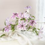 Swooning Over the Graceful Beauty of Clematis…