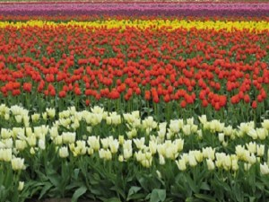 A sea of Skagit Valley tulips.