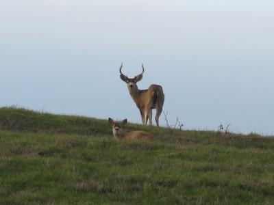 Plentiful deer grazing the grasslands.