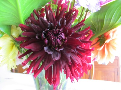 Almost-black burgundy dahlia, another dinner-plate variety.