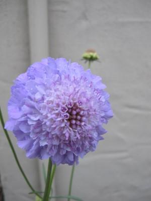 """Scabiosa atropurpurea """"Florist's Blue"""" adorns the courtyard."""