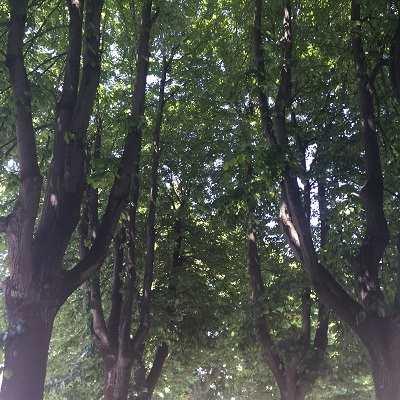 Beautiful trees  in Lucca.
