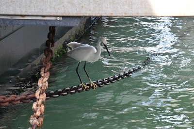 Heron fishing for breakfast below our vaporetto dock.