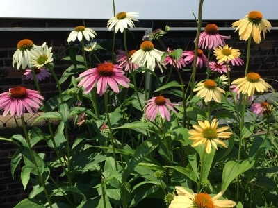 Echinacea flowers abloom along the way.