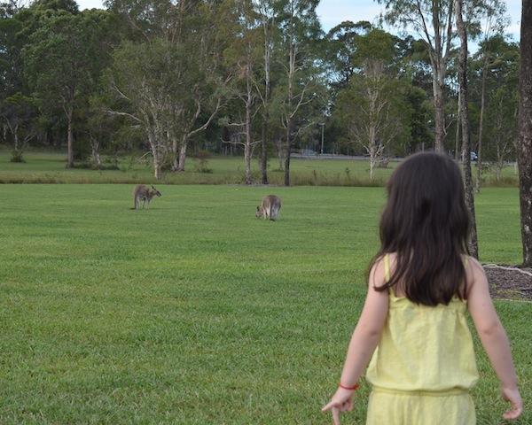 kangaroos at Sunshine Coast University