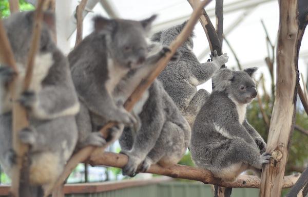koalas 248
