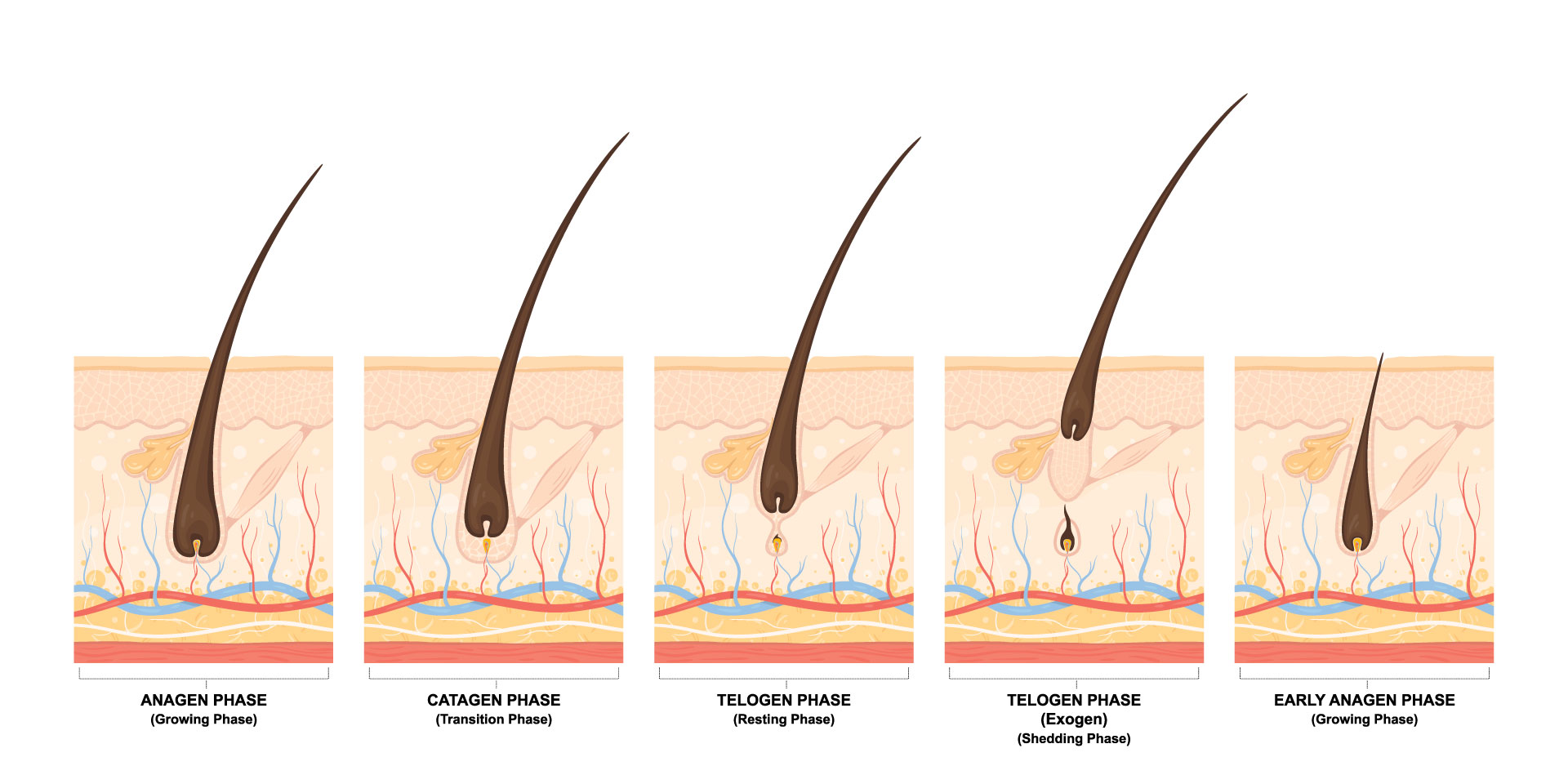 Phase Anagen Hair Growth