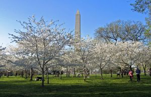 800px Cherry Blossoms and Washington Monument