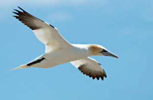 Gannets can dive for fish at over 60mph
