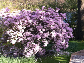 azalea at dr neil's garden