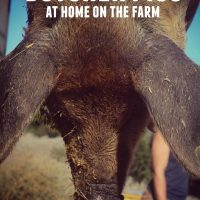 How To Butcher Pigs (At Home On The Farm)