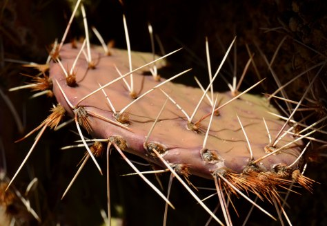 A Prickly Pear Cactus