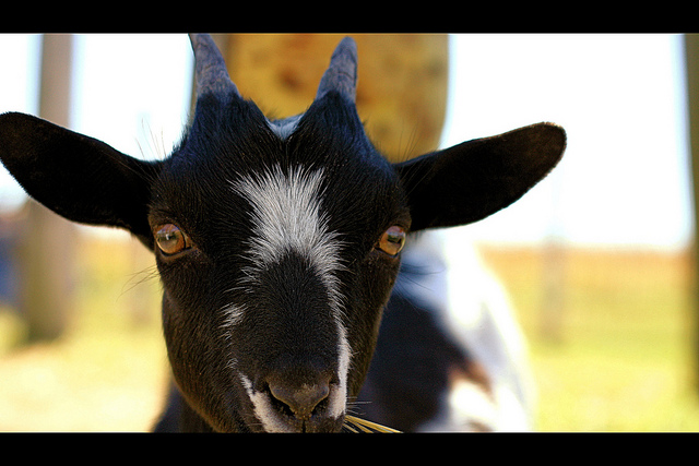 Check out the goat's creepy TV-eyes.  Photo courtesy of Phil Roeder via Flickr