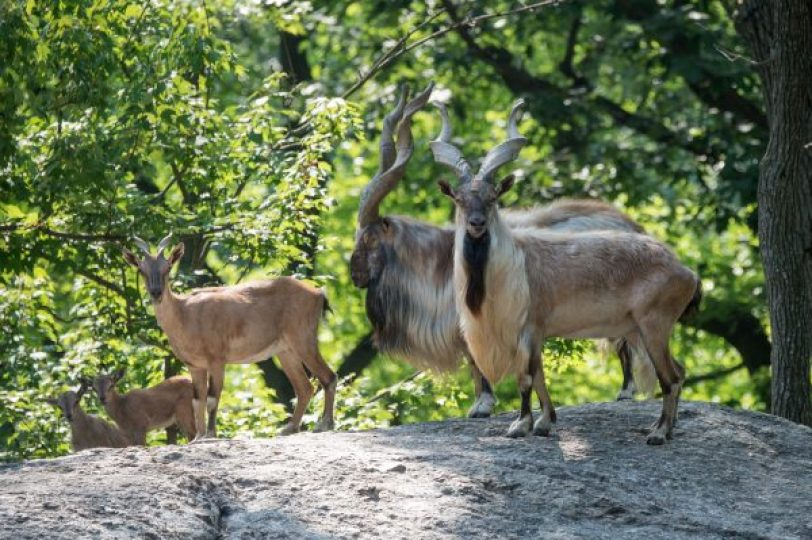 Herd of Endangered Turkmenian Markhor Added to Bronx Zoo. (Julie Larsen Maher, Wildlife Conservation Society)